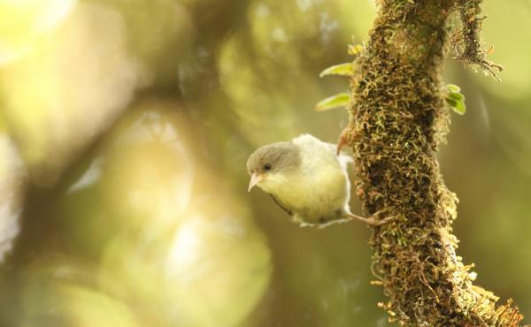 The akikiki bird is endangered and only found on Kauai.
