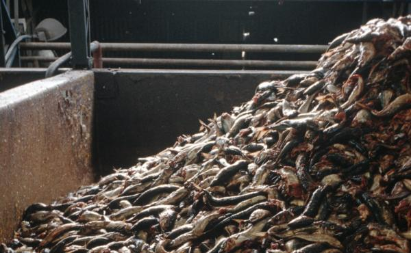 Forage fish like these at a Chilean processing plant are often used for fish meal used in aquaculture. But critics consider this inefficient and wasteful and worry it could deplete fish populations. Now several companies are developing protein substitutes