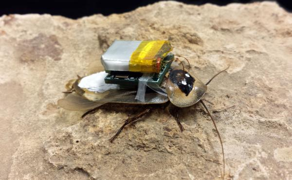 An attempt to build the perfect cockroach cyborg.