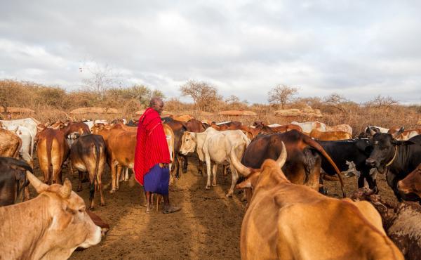 A Maasai elder tends to his cattle.
