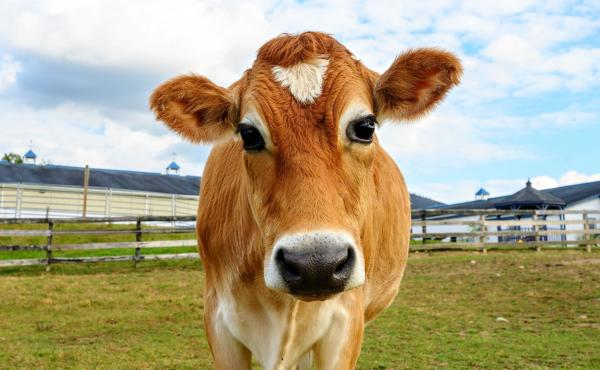 Crouton the steer went viral on Twitter in 2019. In 2020, the Crouton Crew grew to over 50,000 followers.