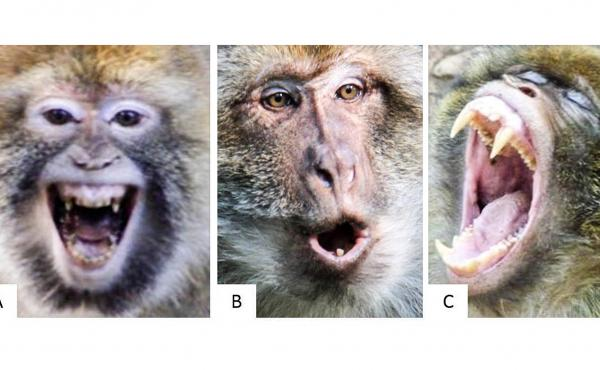 "Never take Barbary macaques — or any nonhuman primate for that matter — at face value. That ""smile"" does not mean what you think it does."