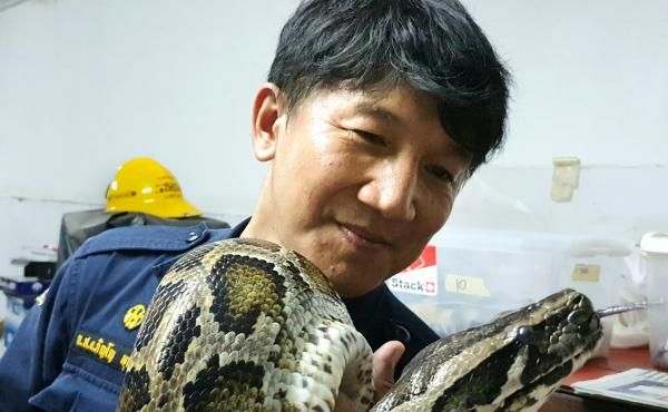 "Firefighter Pinyo Pukpinyo holds a Burmese python. In 16 years of snake wrangling, he says he has been bitten more than 20 times but helping people desperate to get rid of snakes in their homes ""makes me happy."""