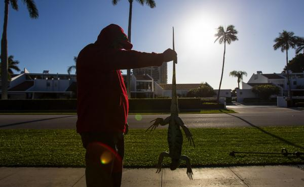 "A man holds a cold-stunned iguana outside an apartment complex in West Palm Beach, Fla., on Wednesday. ""This isn't something we usually forecast, but don't be surprised if you see iguanas falling from the trees tonight as lows drop into the 30s and 40s,"""