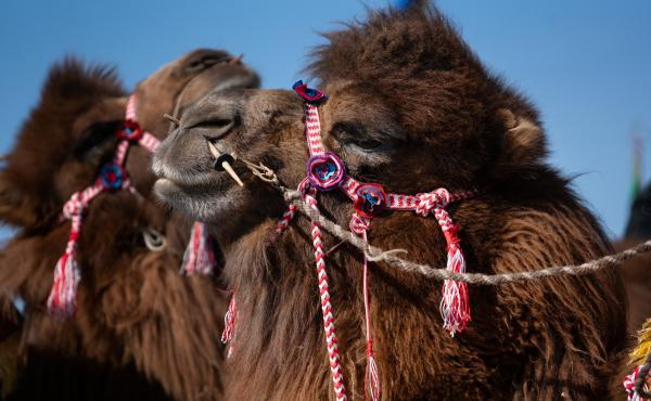The domesticated Bactrian camel is the largest species of camel in the world. They are able to withstand the harsh terrain of Central and East Asia. Adapted to keep sand at bay, the camels have two rows of eyelashes and sealable nostrils.