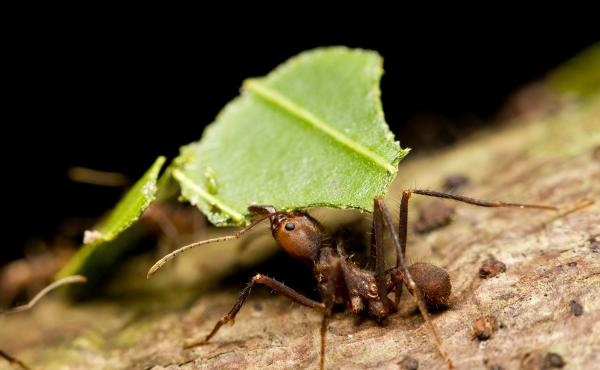 Various species of ants engage in some kind of agriculture. Here, a leaf-cutter ant gathers food for its fungus farm.