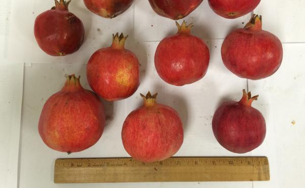 These pomegranates are about an inch smaller than the typical size, but they're packed with antioxidants.