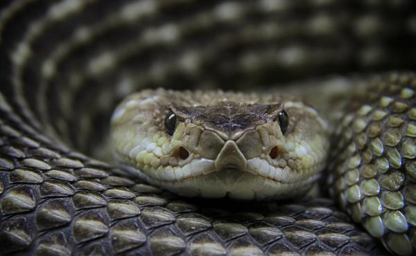 The antivenin market for treating bites from rattlesnakes and other pit vipers might be considered a case study of why drug prices are so high. Head-to-head competition between brand-name medicines may not meaningfully reduce prices.