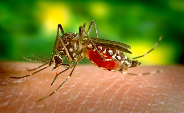 A female Aedes aegypti mosquito feeds on human skin.