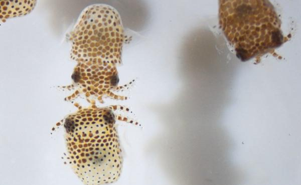 Scientists will study whether microgravity has an impact on the relationship between newly hatched bobtail squid and their symbiotic bacterium.