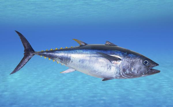 The IUCN says the Atlantic bluefin tuna is endangered. Its stocks have declined globally between 29 percent and 51 percent over the past 21 to 39 years, according to the conservation group.