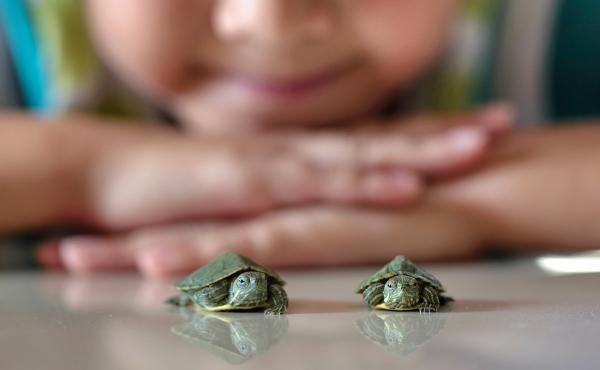 Tiny turtles are cute, but they can spread salmonella and make children very sick.