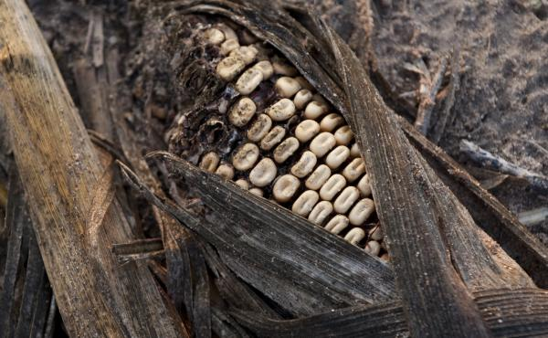 In 2012, record heat throughout the U.S. farm belt curtailed crop production like this rotting corn on a farm in Bruceville, Ind. Farmers are now worried that the lack of rainfall this year could start the cycle over again.