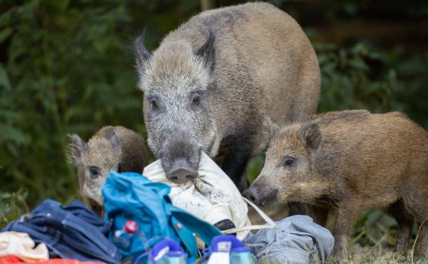 A wild boar and two of its young roam around Teufelssee, or Devil's Lake, in Germany in August.