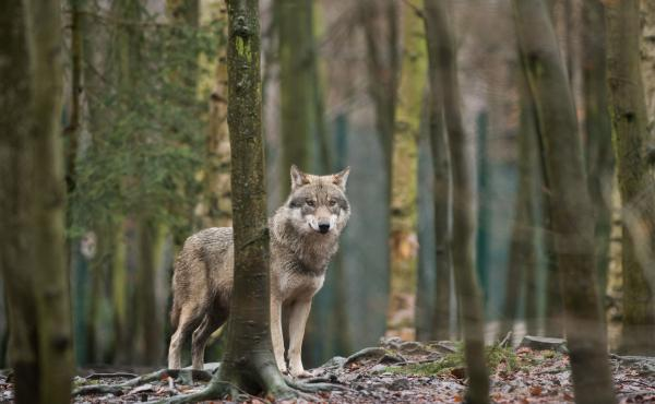 A wolf in its enclosure at the Hexentanzplatz zoo in Thale, northern Germany.