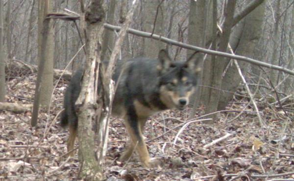 A camera trap from North Carolina shows an eastern coyote who seems to have some German shepherd genes.